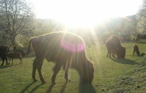 Sie rupfen, kauen und verdauen mit Ruhe. Damit wecken die Bisons Vertrauen ins Leben und in die eigene Stärke. Foto: Dorothea Müth