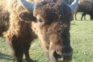 Zottiges Fell, große braune Augen und Hörner: Das Bison vermittelt urtümliche Kraft. Foto: Dorothea Müth